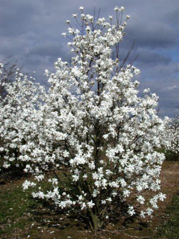 Чисто-белые, со слабым ароматом цветки
