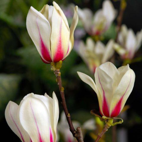 Цветки тюльпановидные