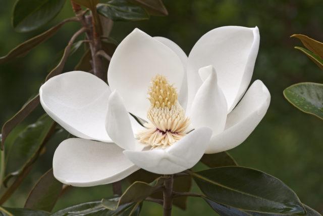 Цветки крупные