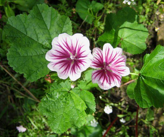 Цветки белые с пурпурными прожилками