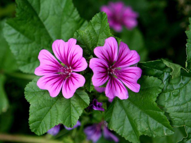 Цветки розовые с пурпурным оттенком