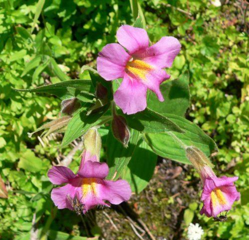 Воронковидные соцветия
