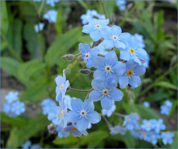 Компактное растение с голубыми цветками