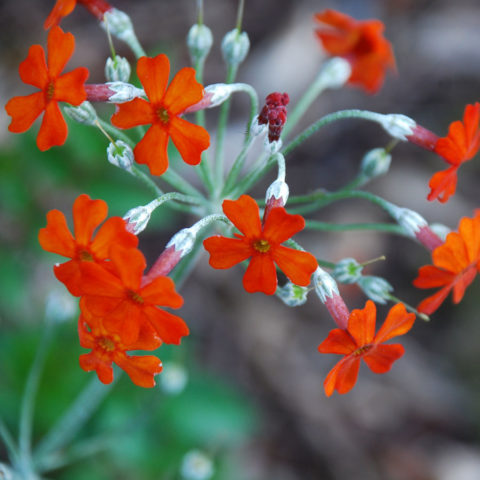 Зонтики душистых поникающих воронковидных цветков