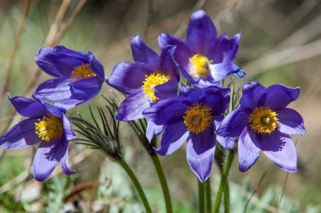 Цветки лилово-синие