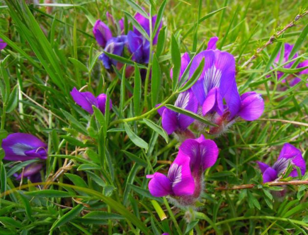 Густо-пурпурные цветки