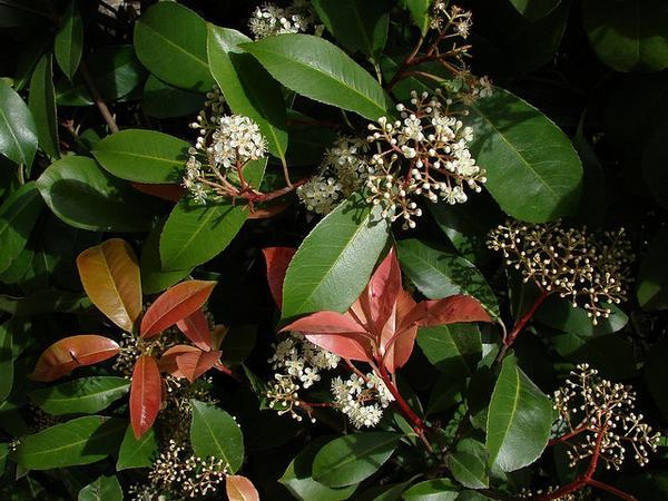 Сорт отличается толстыми кожистыми продолговатыми листьями