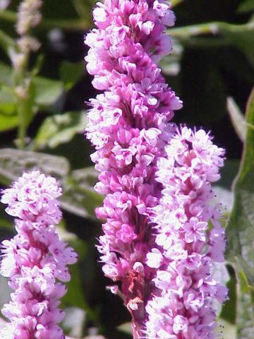 Мелкие розовые цветки