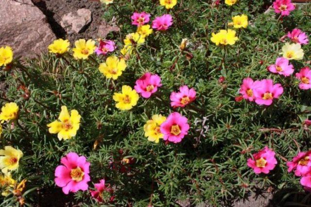 Блюдцевидные цветки