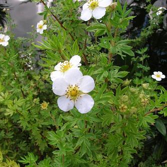Цветки белые на дуговидно согнутых ветвях