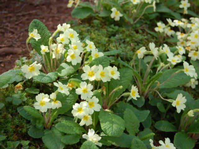 Крупные, чисто-белые цветки