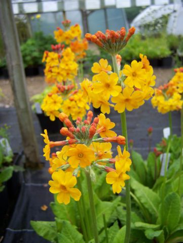 Канделябровый вид с густо-буровато-оранжевыми цветками