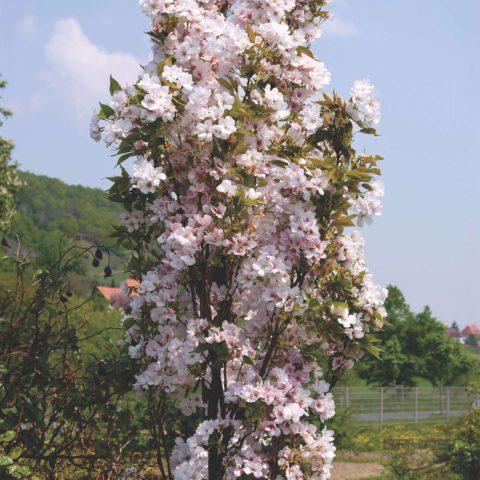 Полумахровые пастельно-розовые цветки