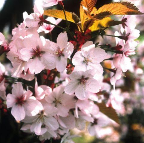 Цветки белые, с розовым румянцем