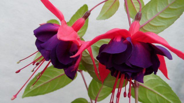 Махровые цветки с малиновыми чашелистиками и темно-фиолетовыми лепестками