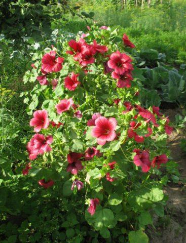 Ярко-розовые цветки