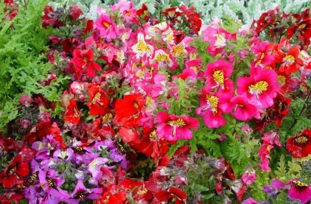 Окраска цветков варьирует от белой и лавандовой до розовой и коричневой