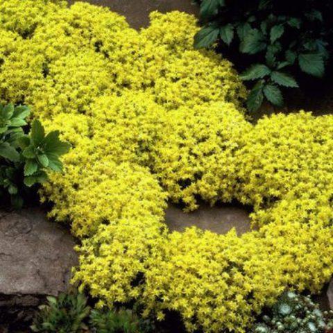 Сорт с желтоватой листвой
