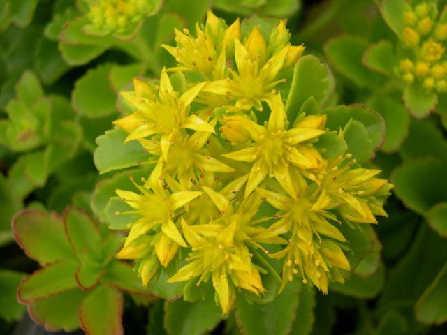 Светло-желтые цветки