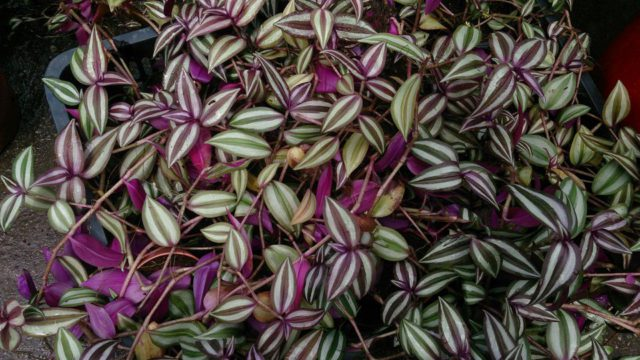 Розовато-лиловые цветки распускаются в первой половине лета