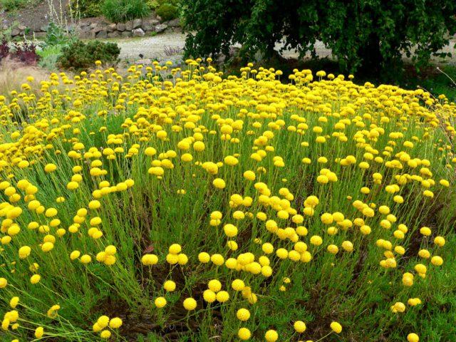 Серебристые нитевидные листья и темно-желтые соцветия