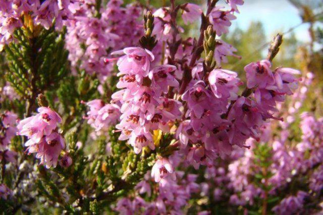 Изящное деревце, образующее в начале лета бледно-розовые цветки