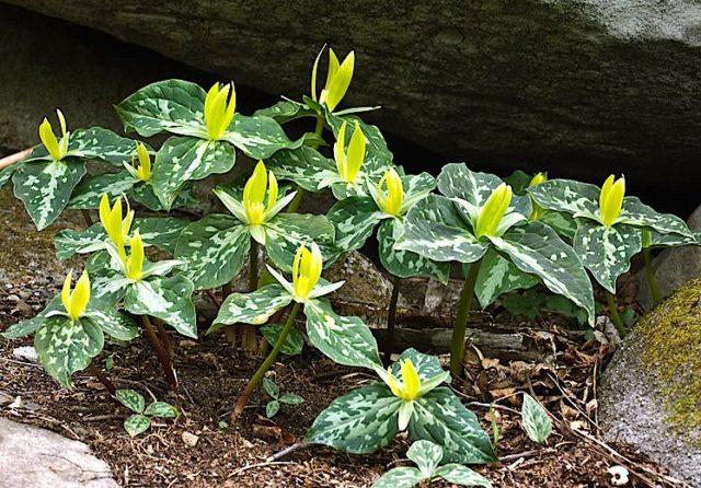 Цветки интенсивно-желтые