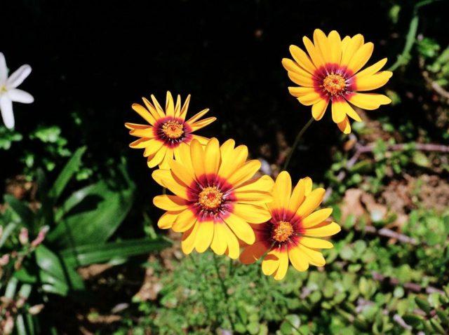 U. calenduliflora