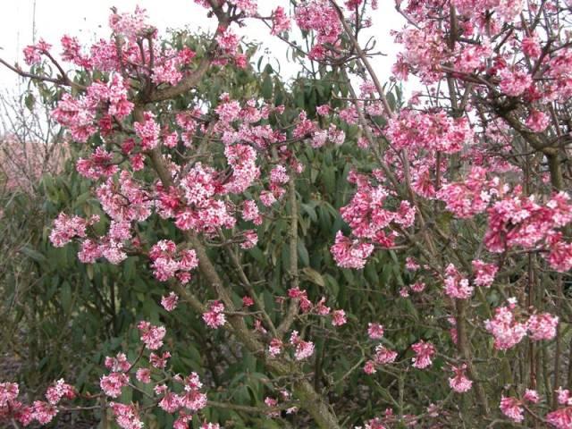 Крупные светло-розовые цветки