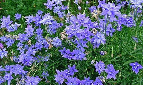 Цветки махровые, голубые
