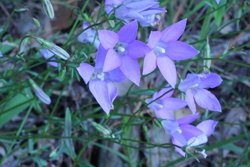 Бледно-голубые цветки
