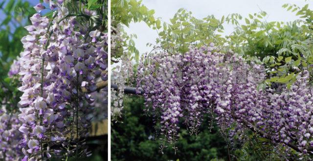 Сорт с лилово-синими цветками