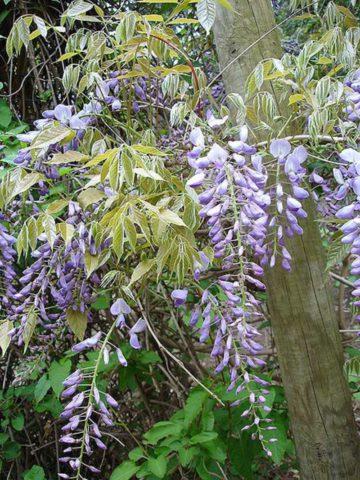 Ароматные фиолетово-синие цветки