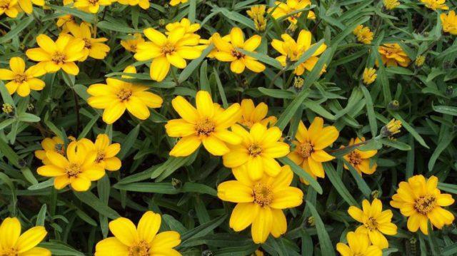 Невысокий вид с одиночными звездчатыми соцветиями