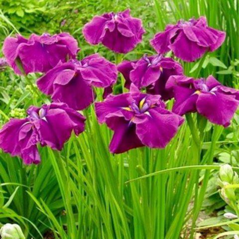 Цветки темные, винно-красные