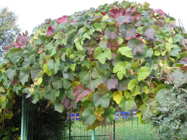 Лиана с глубоко разрезанными лопастными листьями