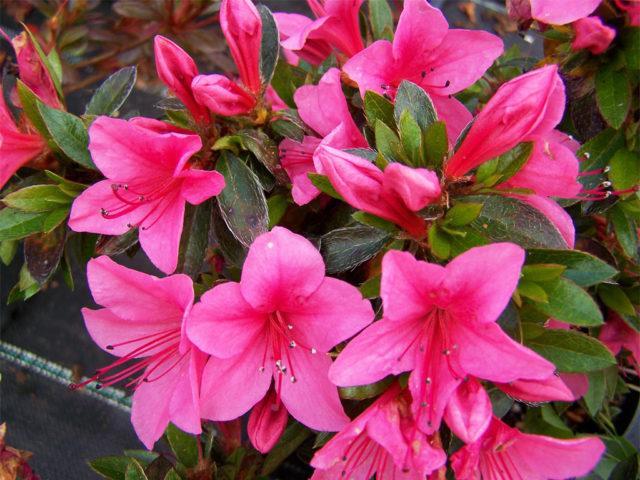 Махровые темно-розовые цветки