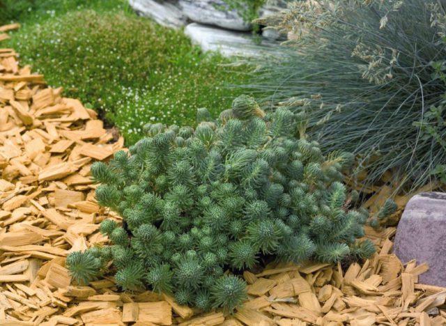 Forsterianum