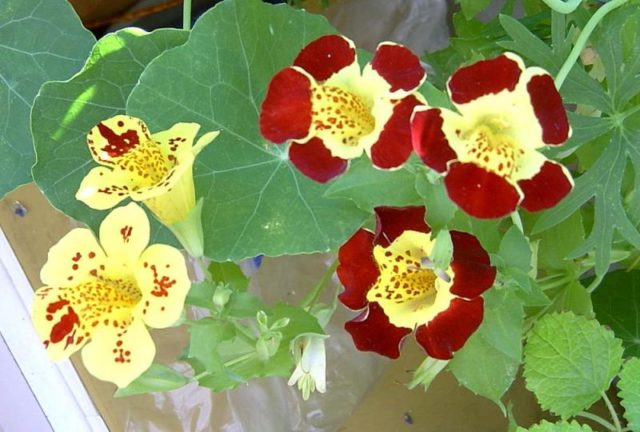 Ярко-алые цветки