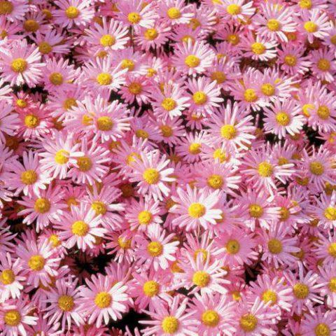 Розовые, простые хризантемы