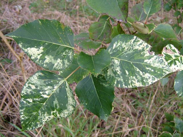 Листья широкоовальные