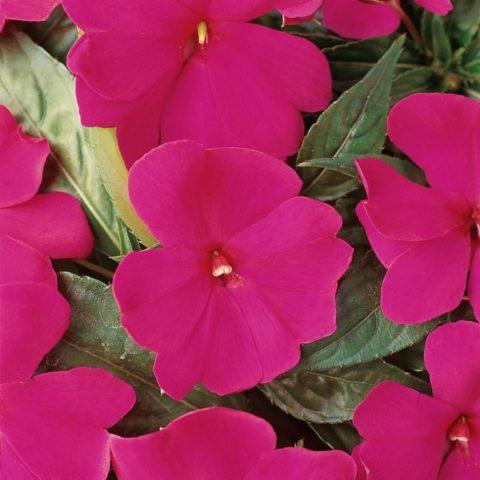 Фиолетовые цветки