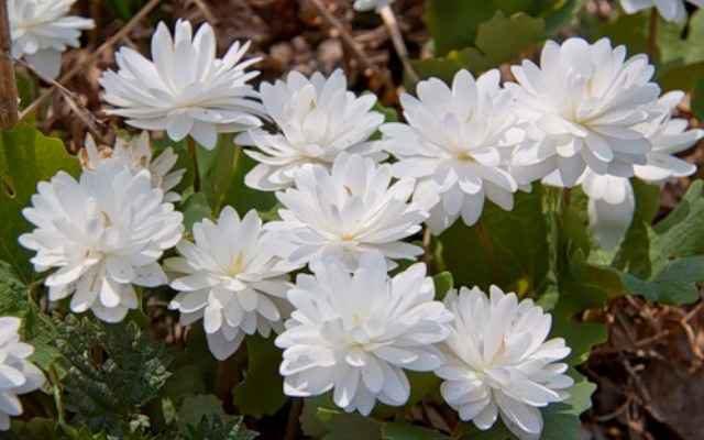 Культивируемый сорт с махровыми цветками