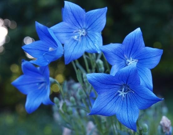 У карликовой разновидности цветки крупные, голубые