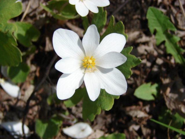 Одиночные белые цветки