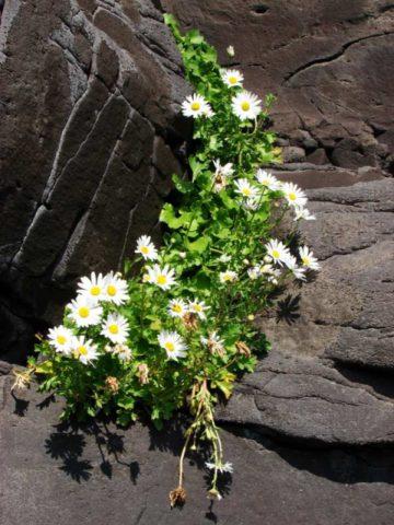 На фоне темно-зеленых листьев в середине осени растение образует множество белых простых соцветий