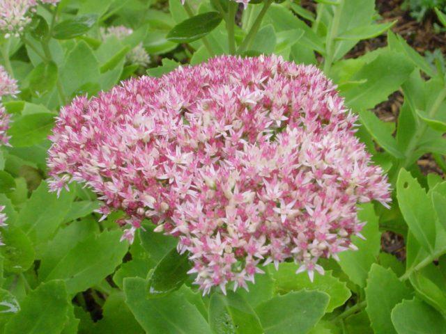 Красно-пурпурные или беловатые соцветия