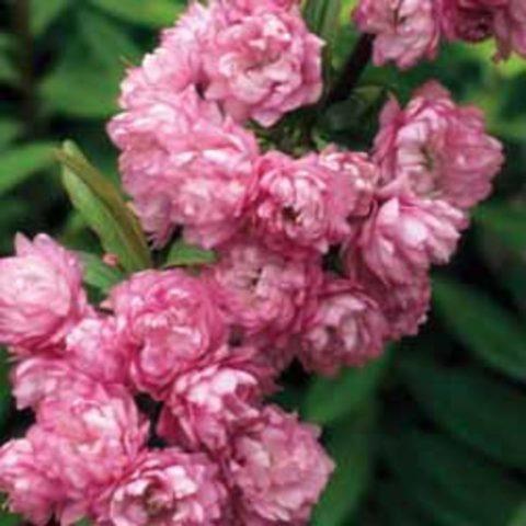 Махровые розовые венчики