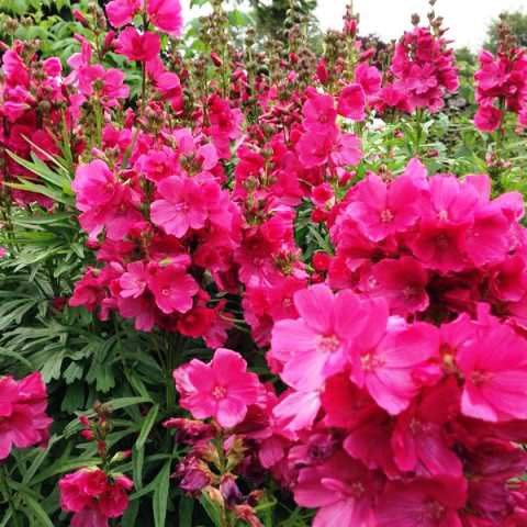 Ярко-розовые соцветия