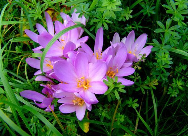 Поникающие колокальчатые цветки